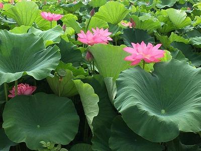 高い高い向日葵の花。